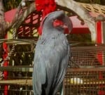 African Grey in Red