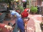 Hyacinth with Macaw