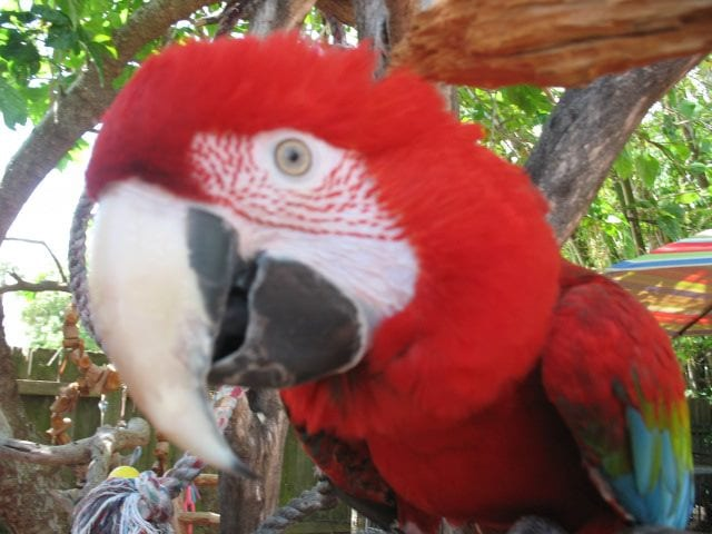 Macaw red eye